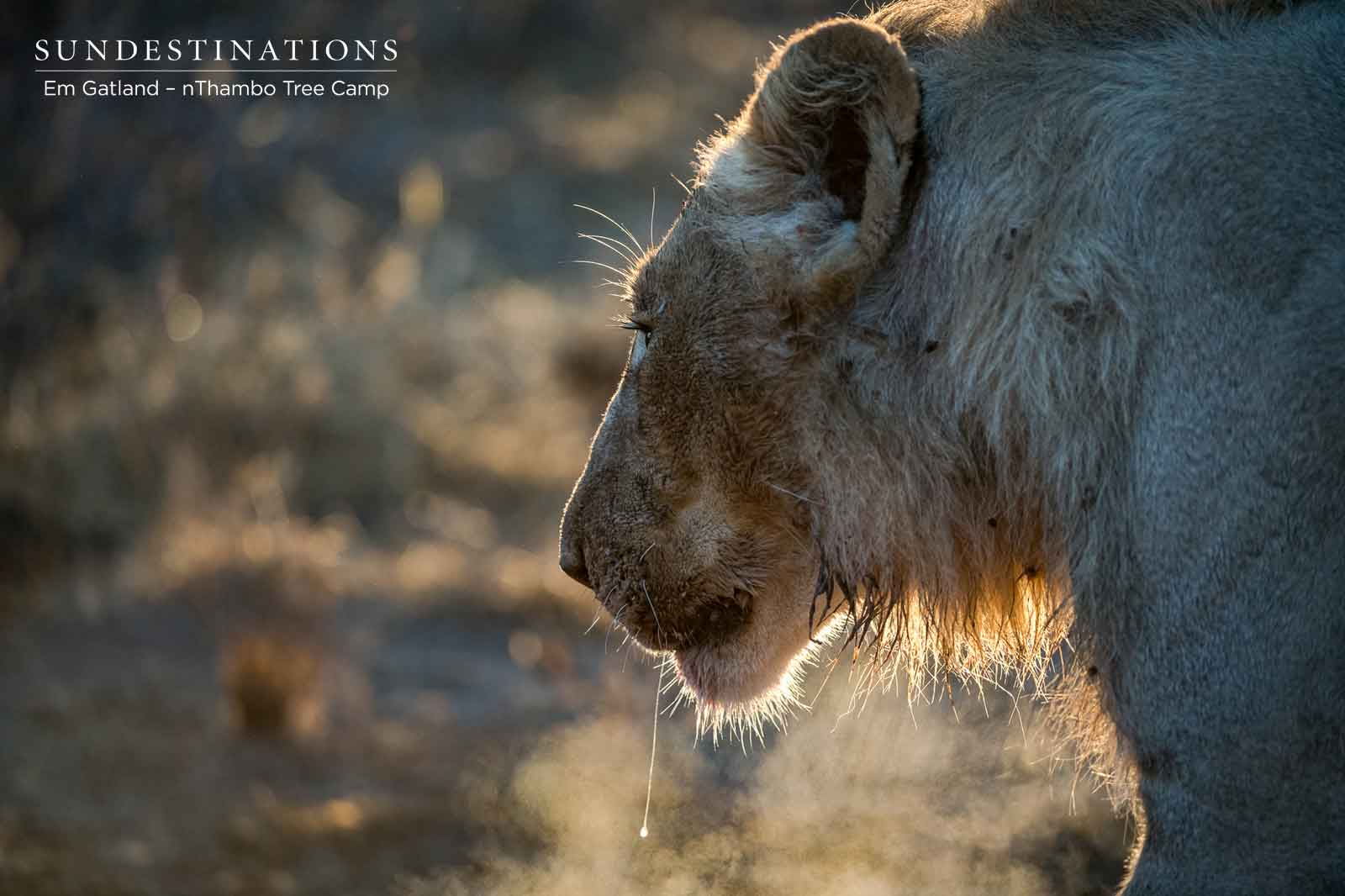Sub-adult Male Lions