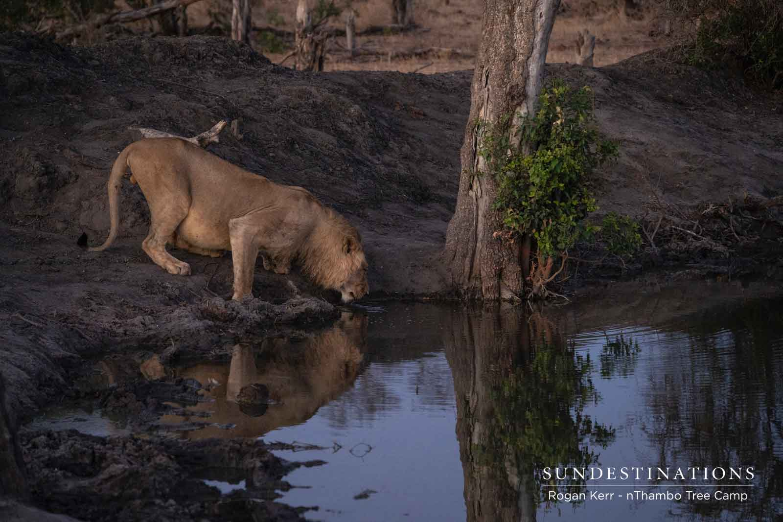 Lions Drinking at a Waterhole
