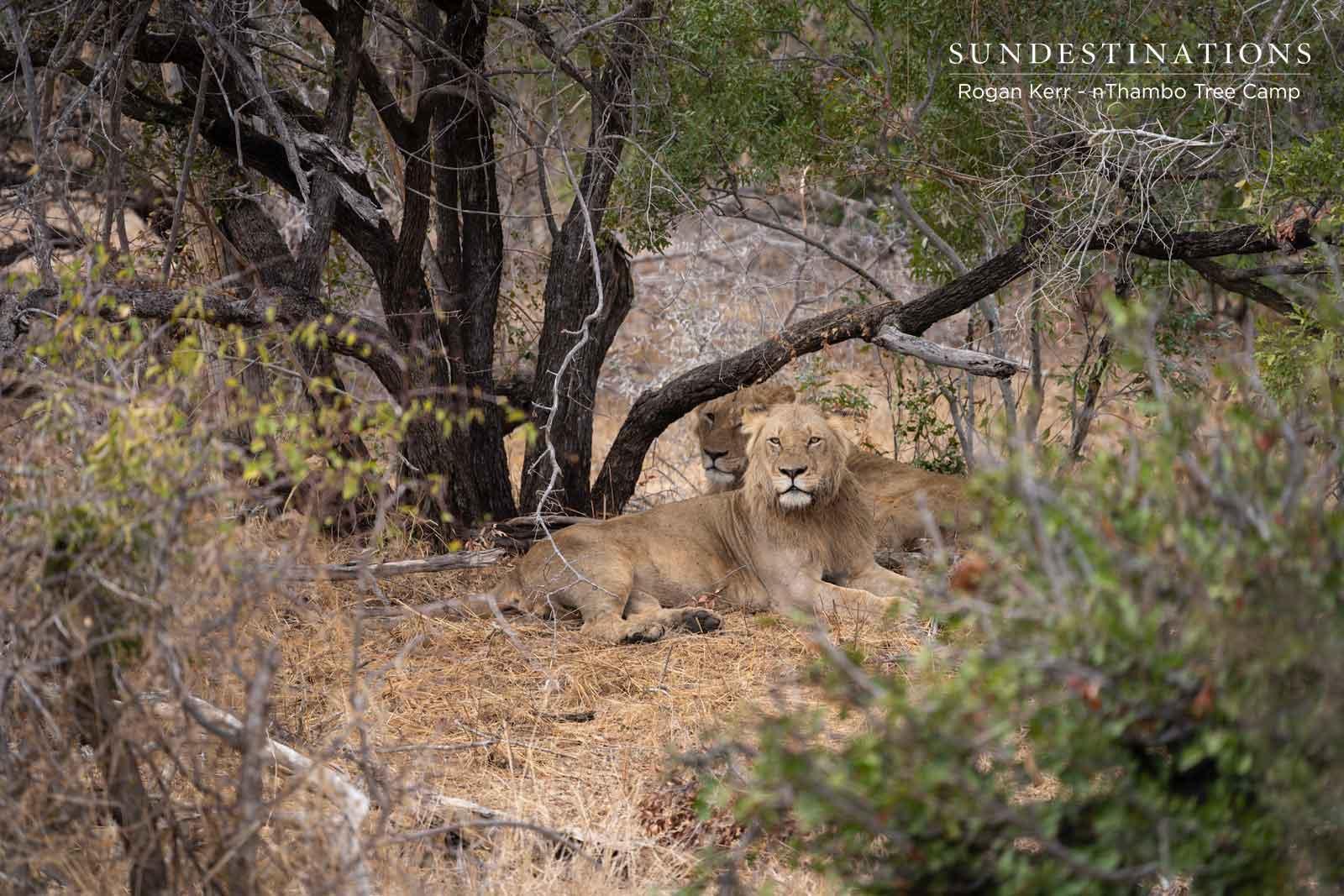 6 Lions at nThambo Tree Camp