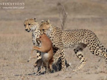 Shaun Atkinson, one of the guides from Umkumbe Safari Lodge, is certainly a good luck charm when it comes to spotting big cats. Come to think of it, most of the guides at Umkumbe enjoy prolific cat sightings. A combination of bushveld experience and knowledge of animal behaviour – and good luck – stands them […]