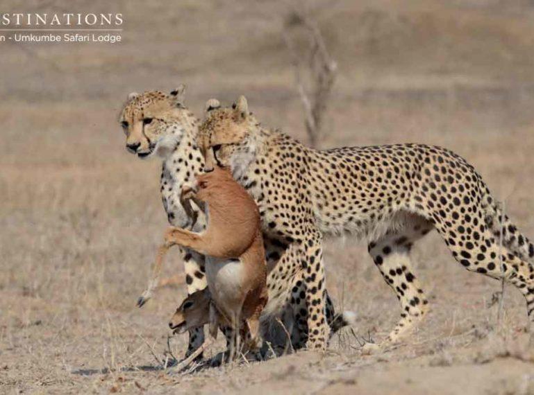 Umkumbe Safari Lodge Spots 2 Cheetah on a Steenbok Kill