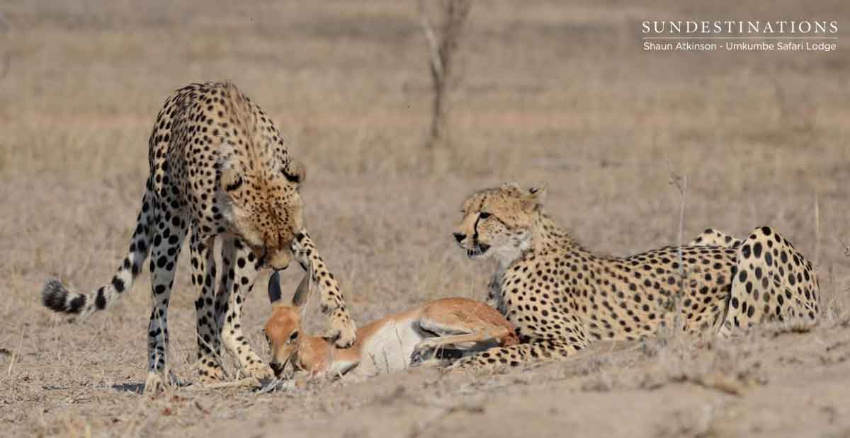 Umkumbe Safari Lodge Spots 2 Cheetah on a Steenbok Kill