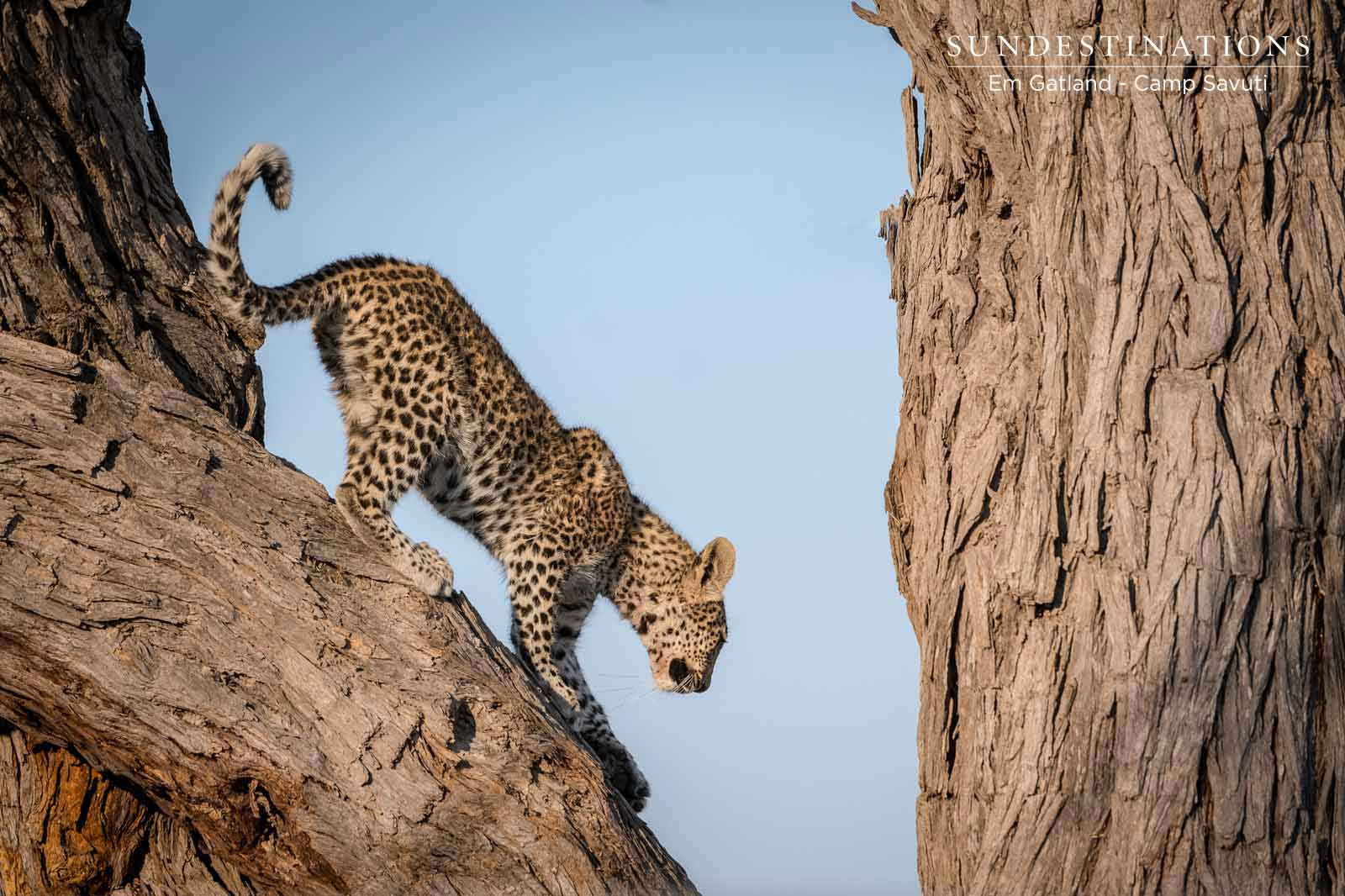 Savuti Leopard in Tree