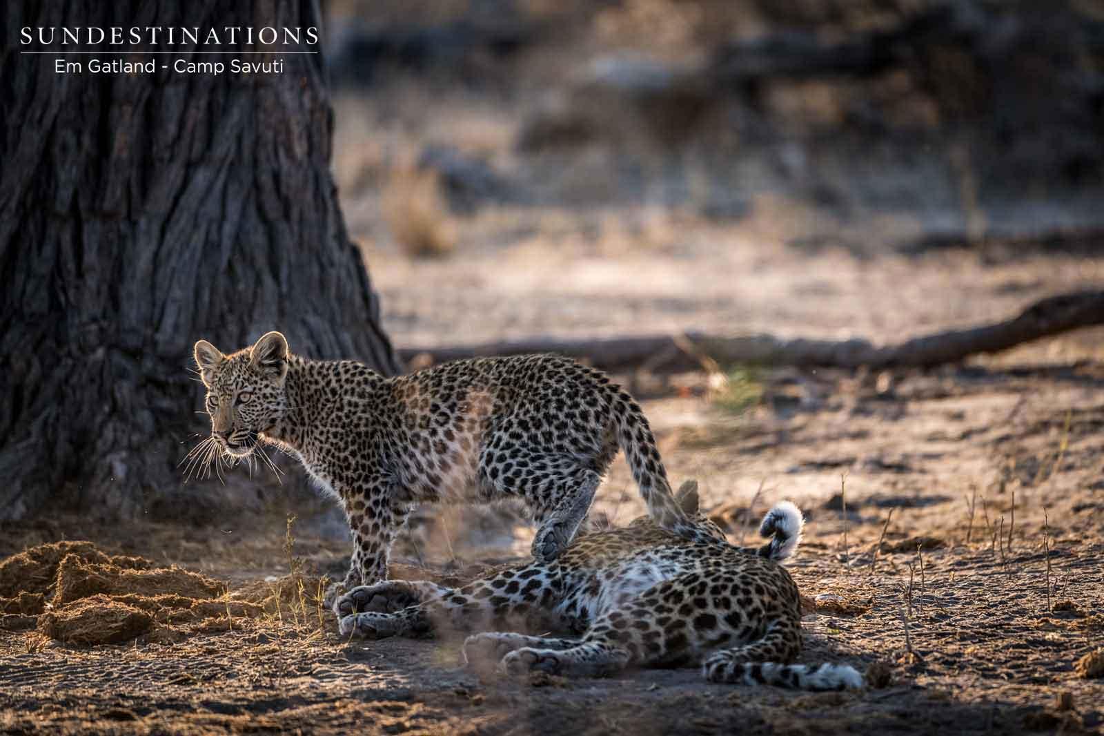 Leopard and Cub in Savuti