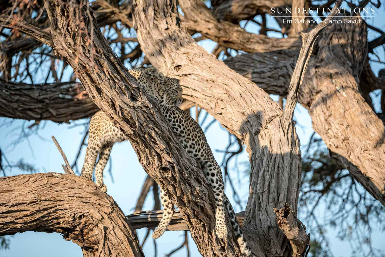 Leopards Hiding Out in Trees