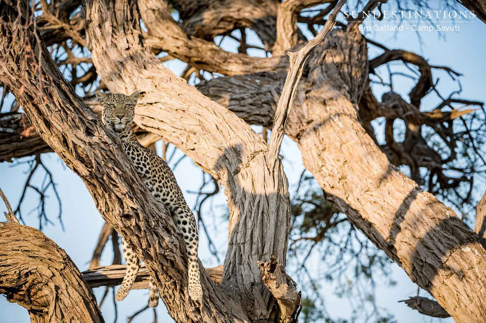 Leopards of Chobe National PArk