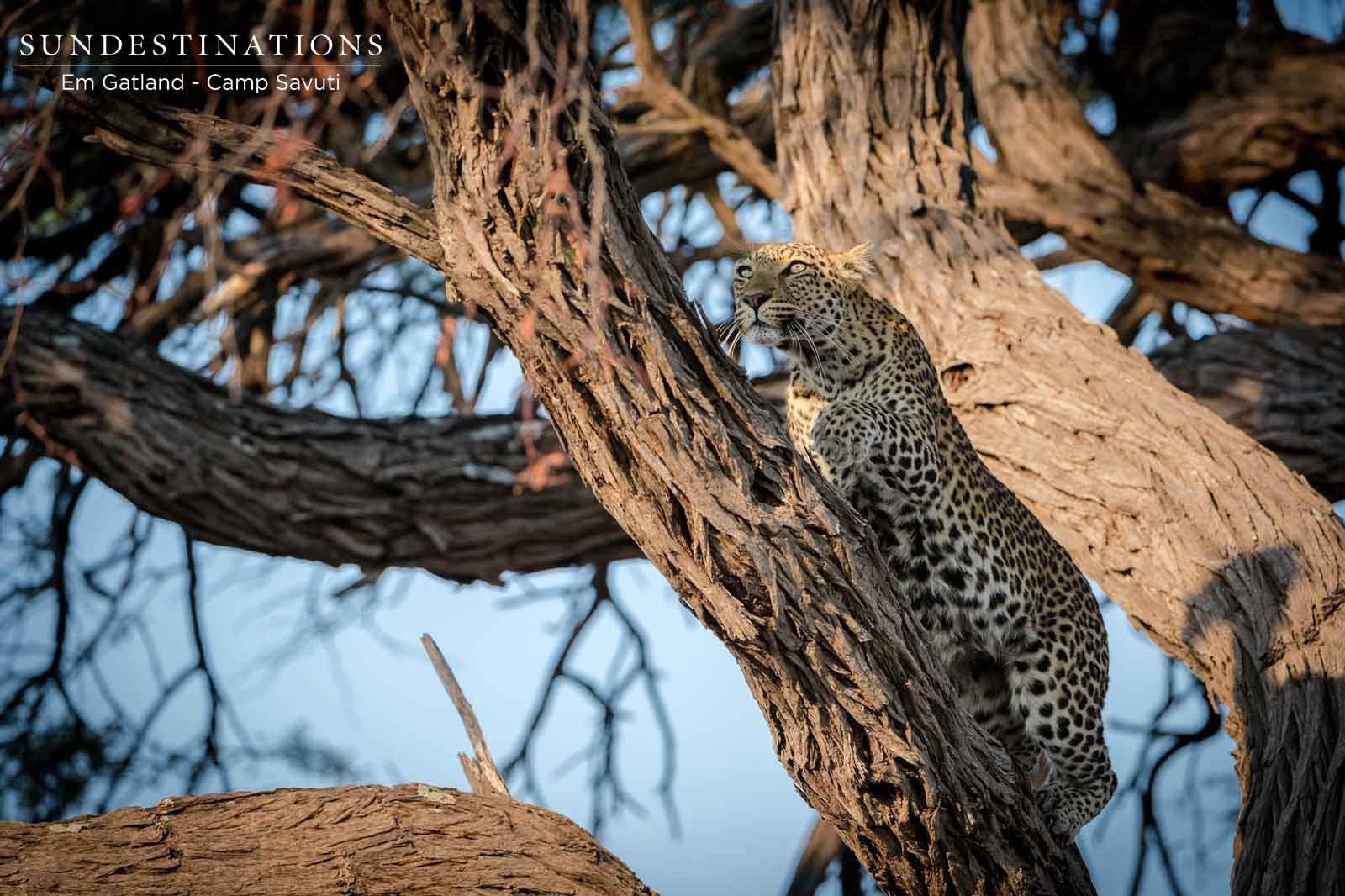 Leopard Crawling Up the Tree!