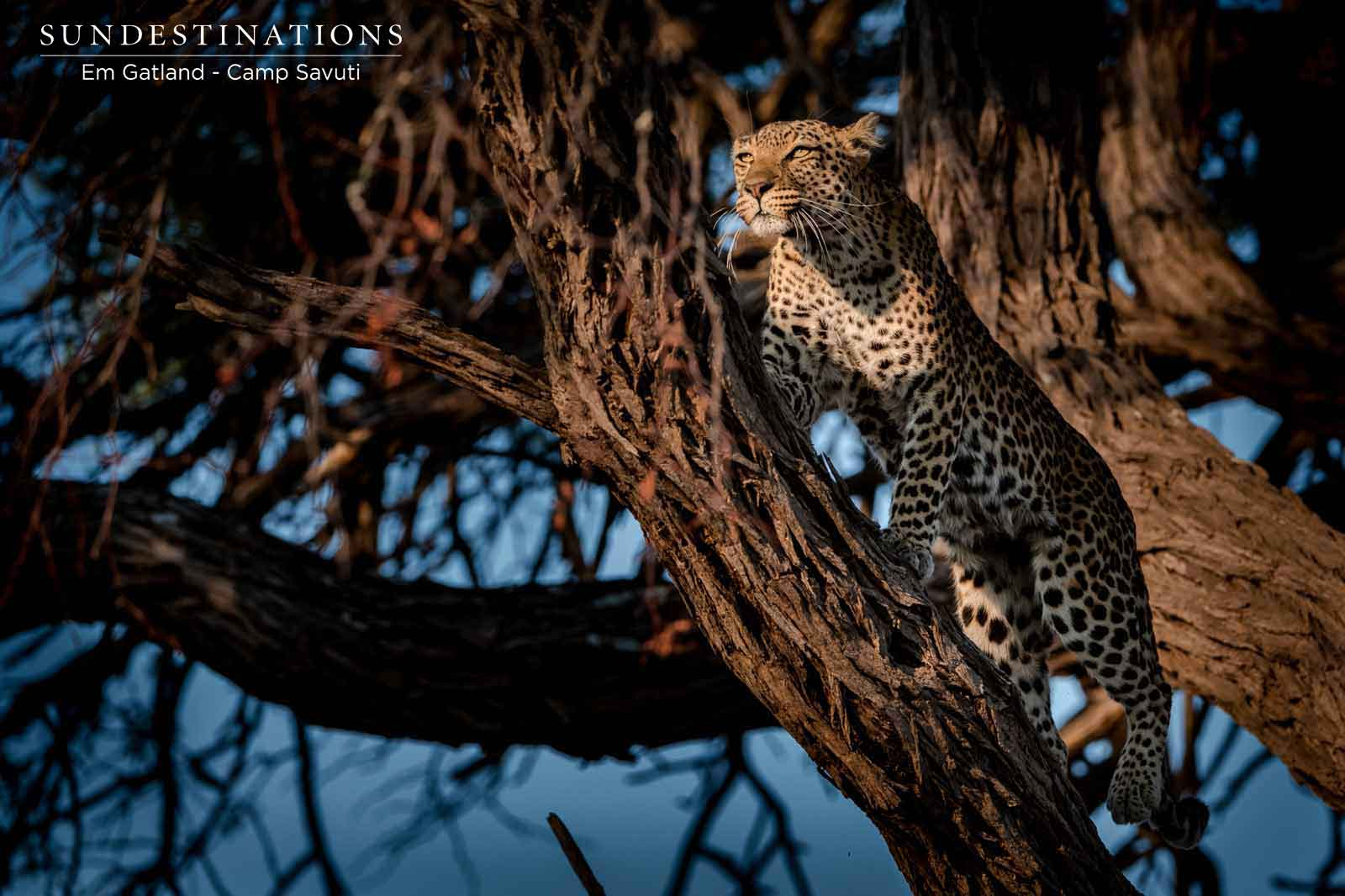 Leopard Watching Over Wilderness