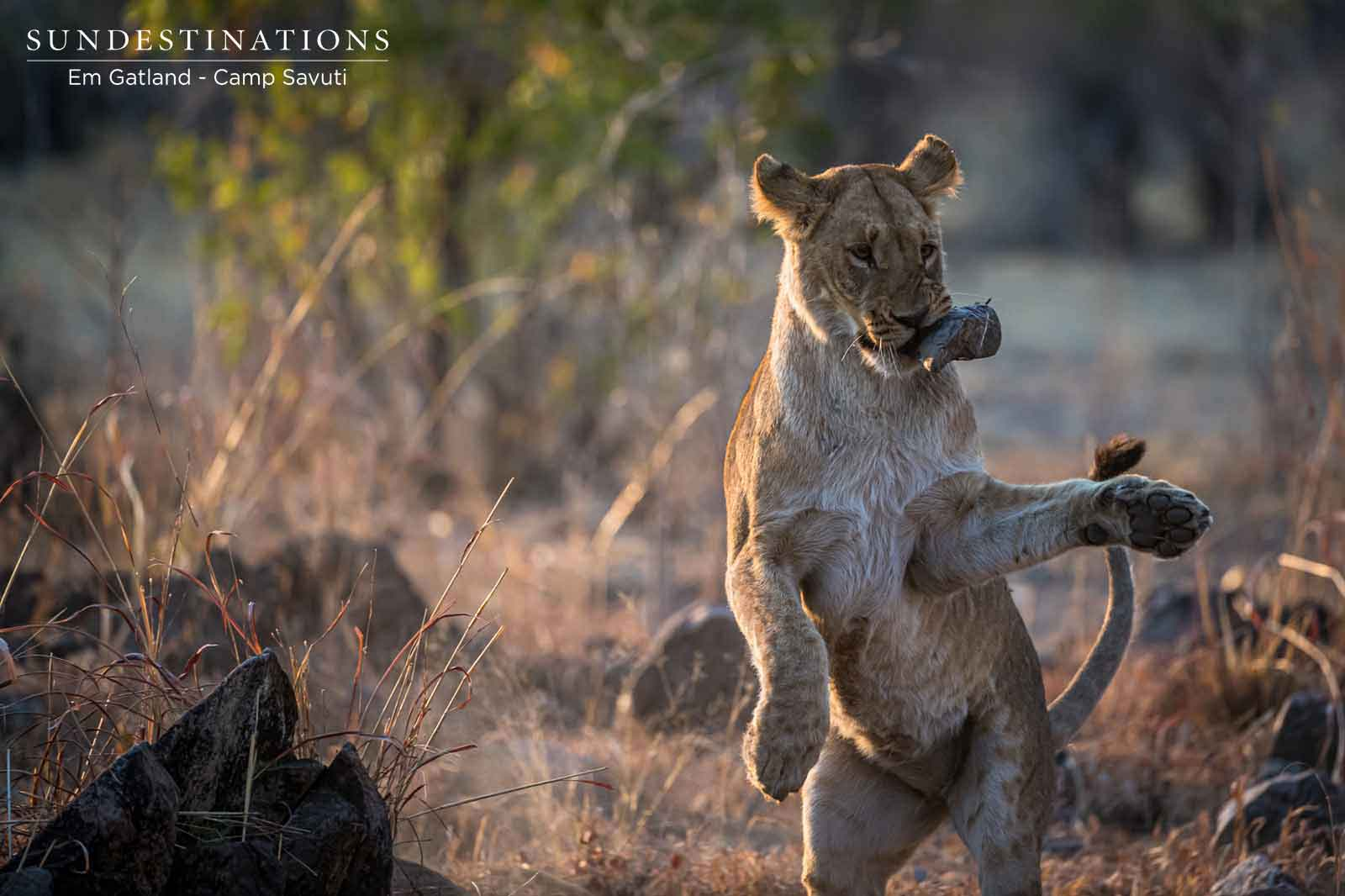 Photographing the Predator Action at Camp Savuti