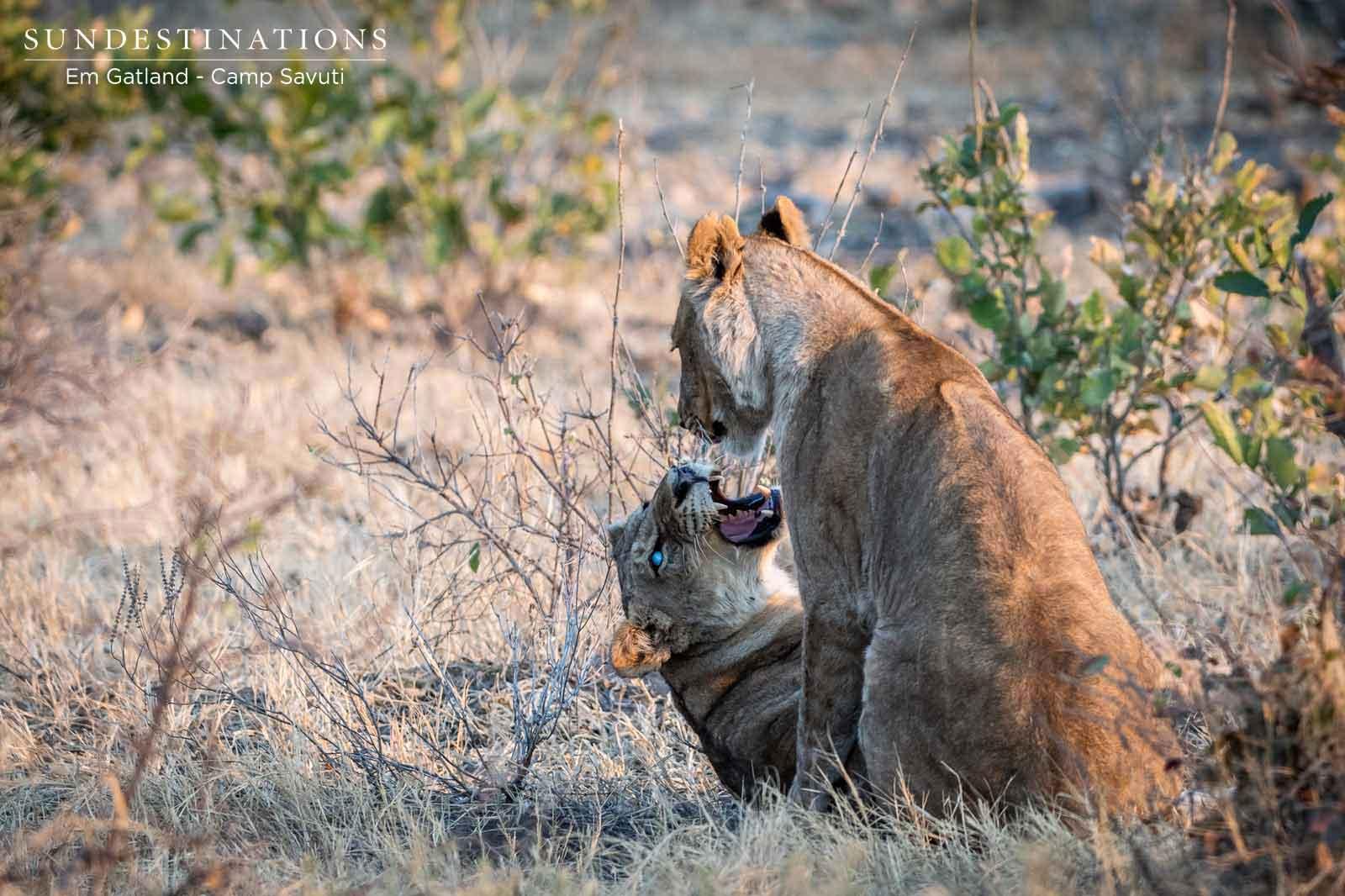 Marsh Pride of Lions