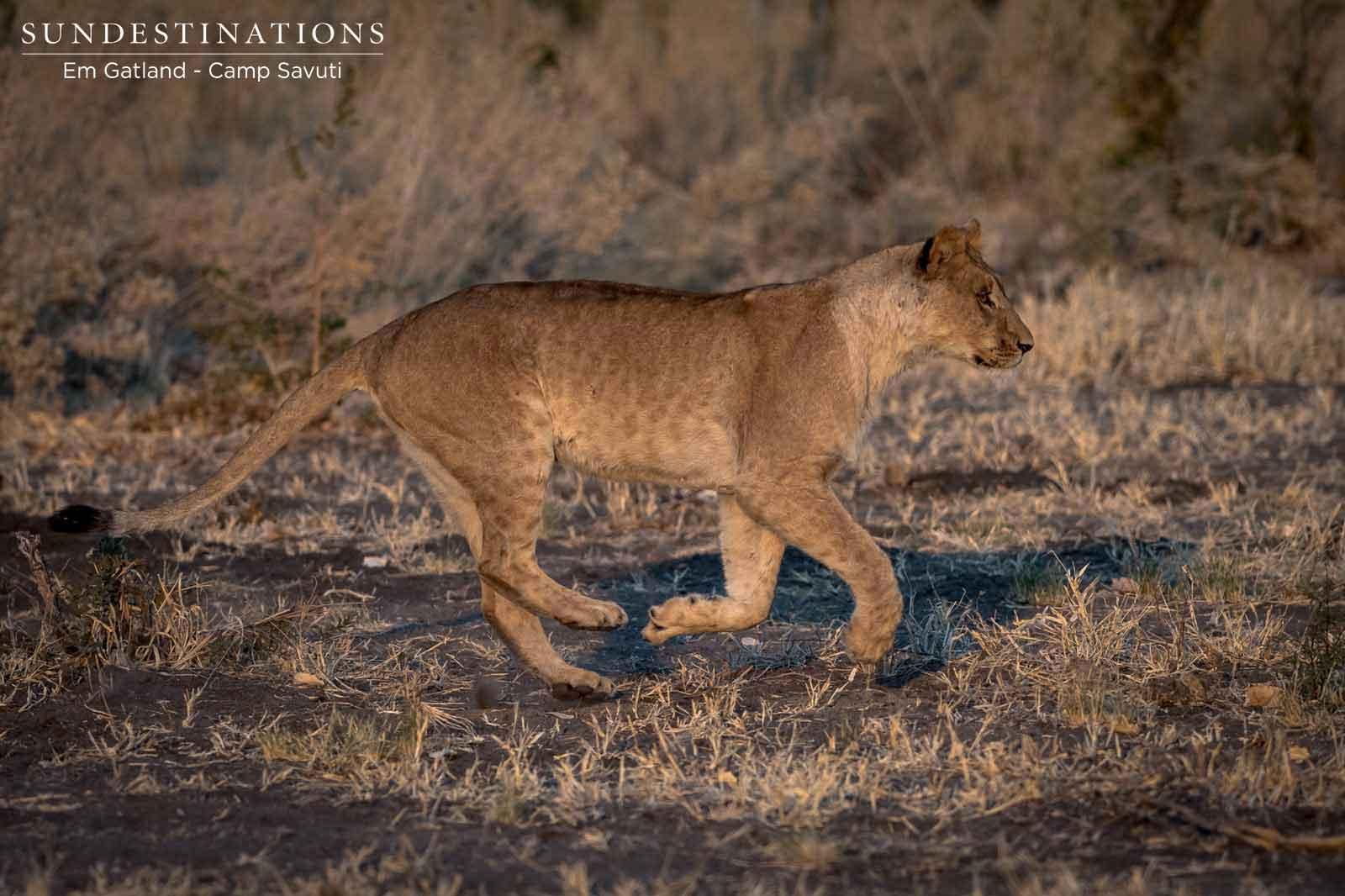 Lion Cub in Savuti Running