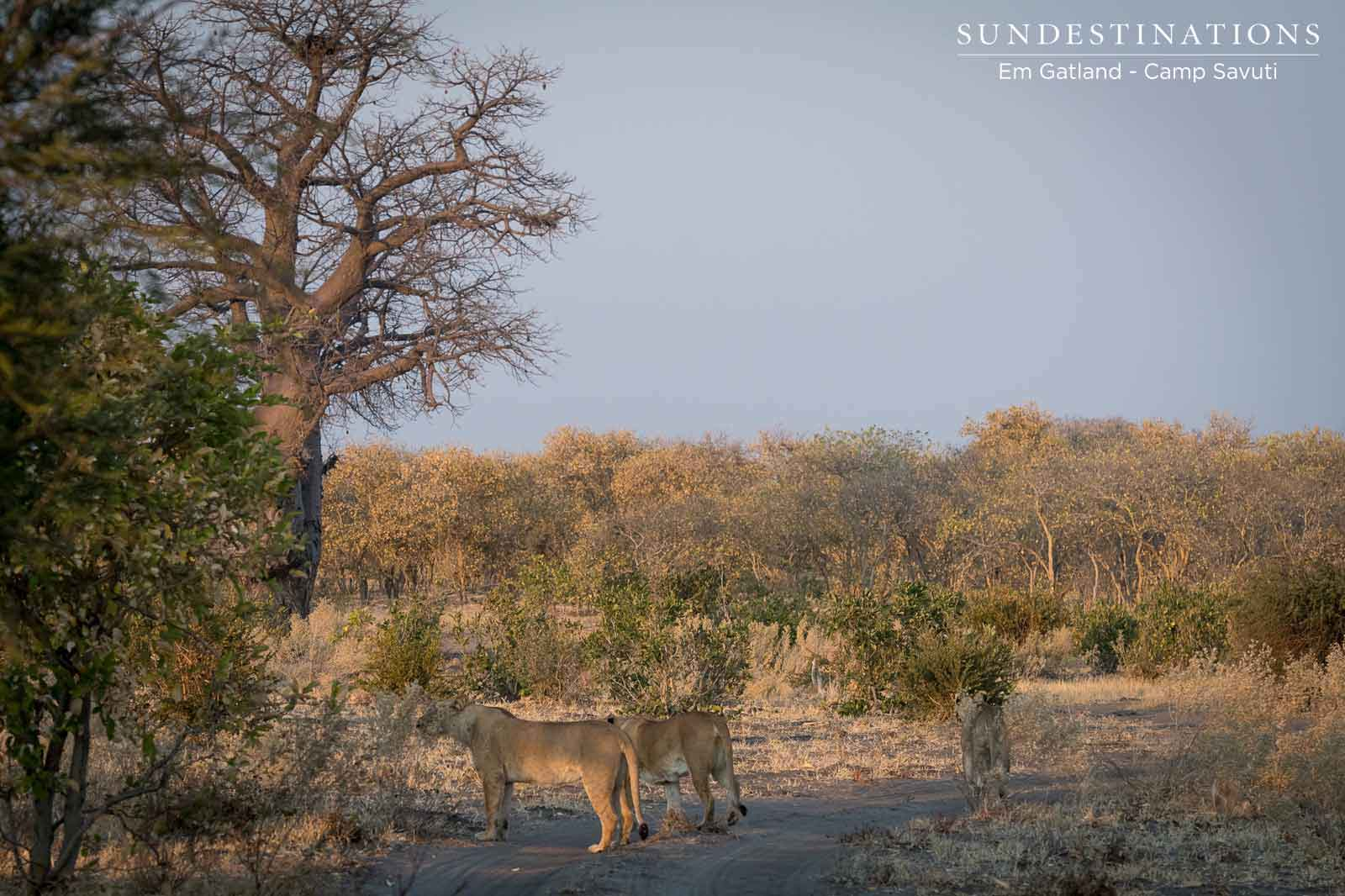 Pride of Lions at Camp Savuti