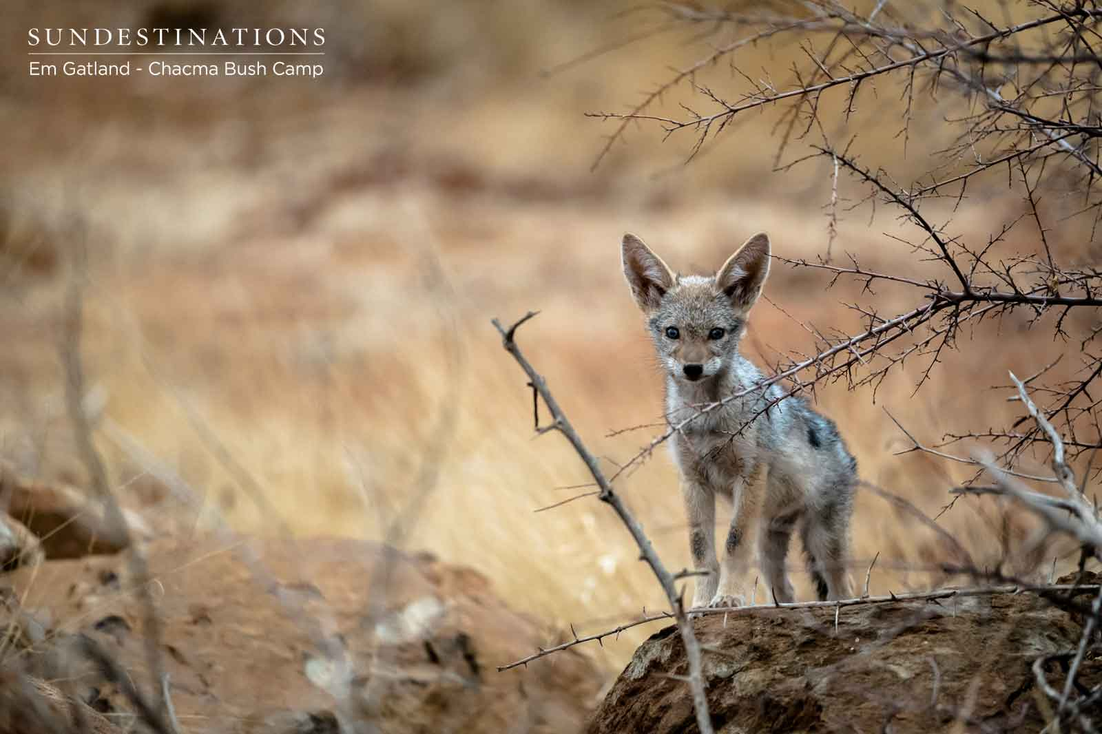 Jackals of Chacma