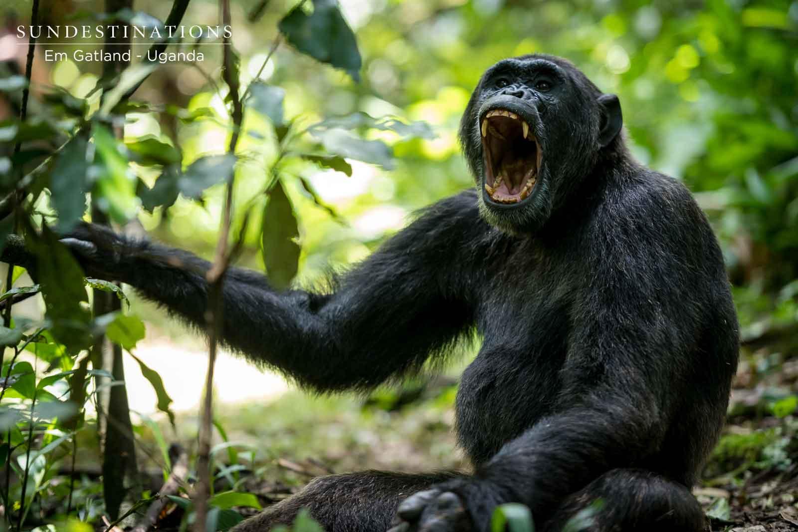 Uganda Chimp Kibale Forest