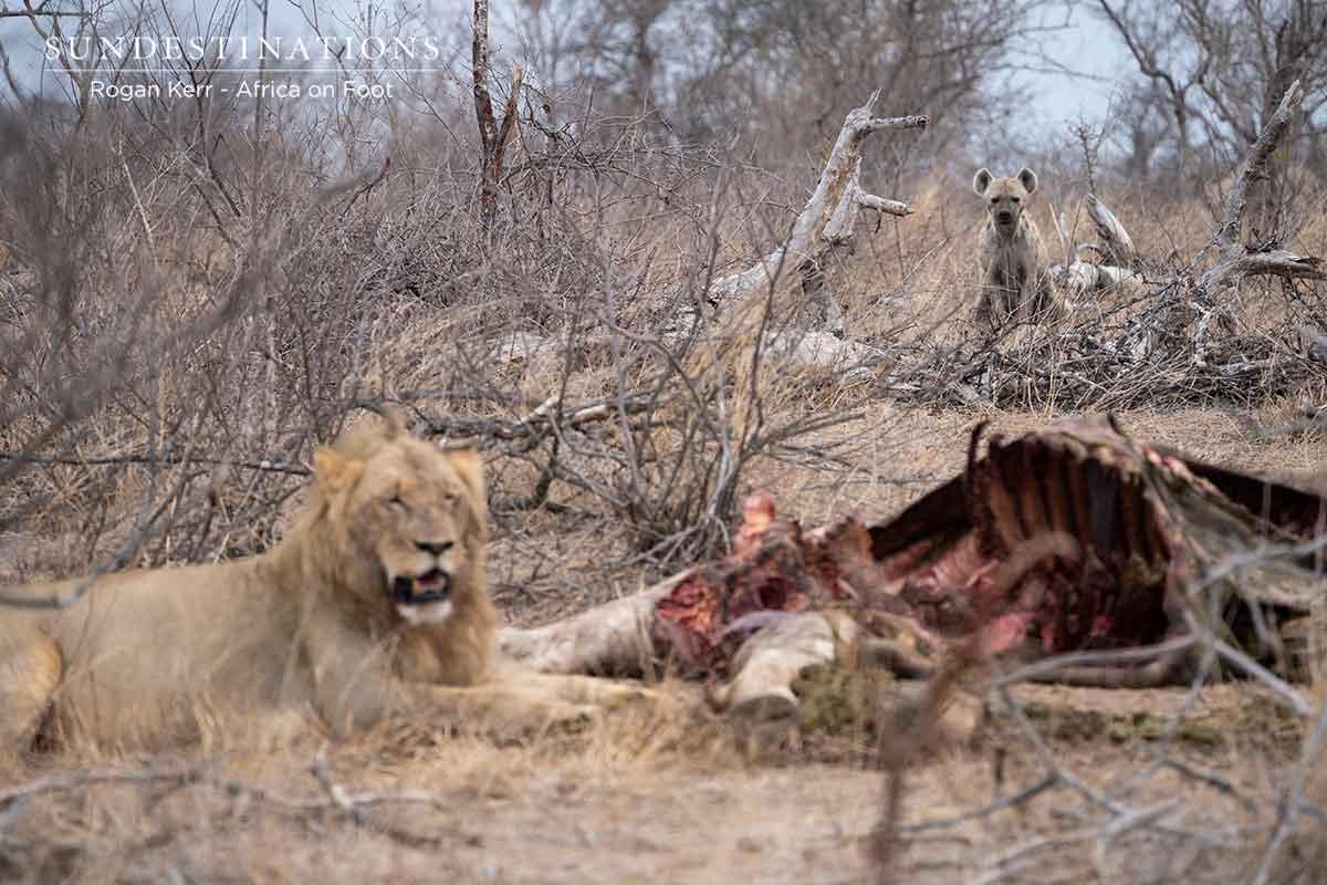 Vuyela Lions Devour Giraffe Carcass