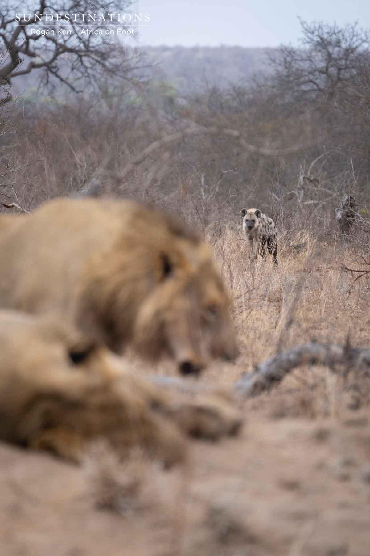 Vuyela Pride Lions in Wild