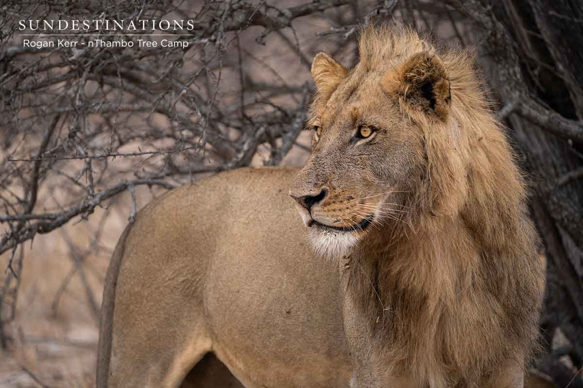 Lone Lion at nThambo Tree Camp