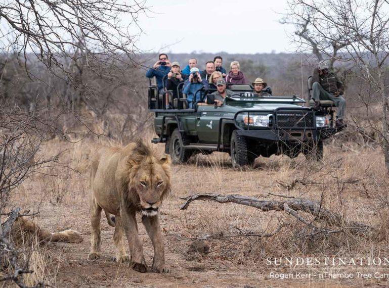 Vuyela Coalition of Lions Gorge on a Gutsy Giraffe