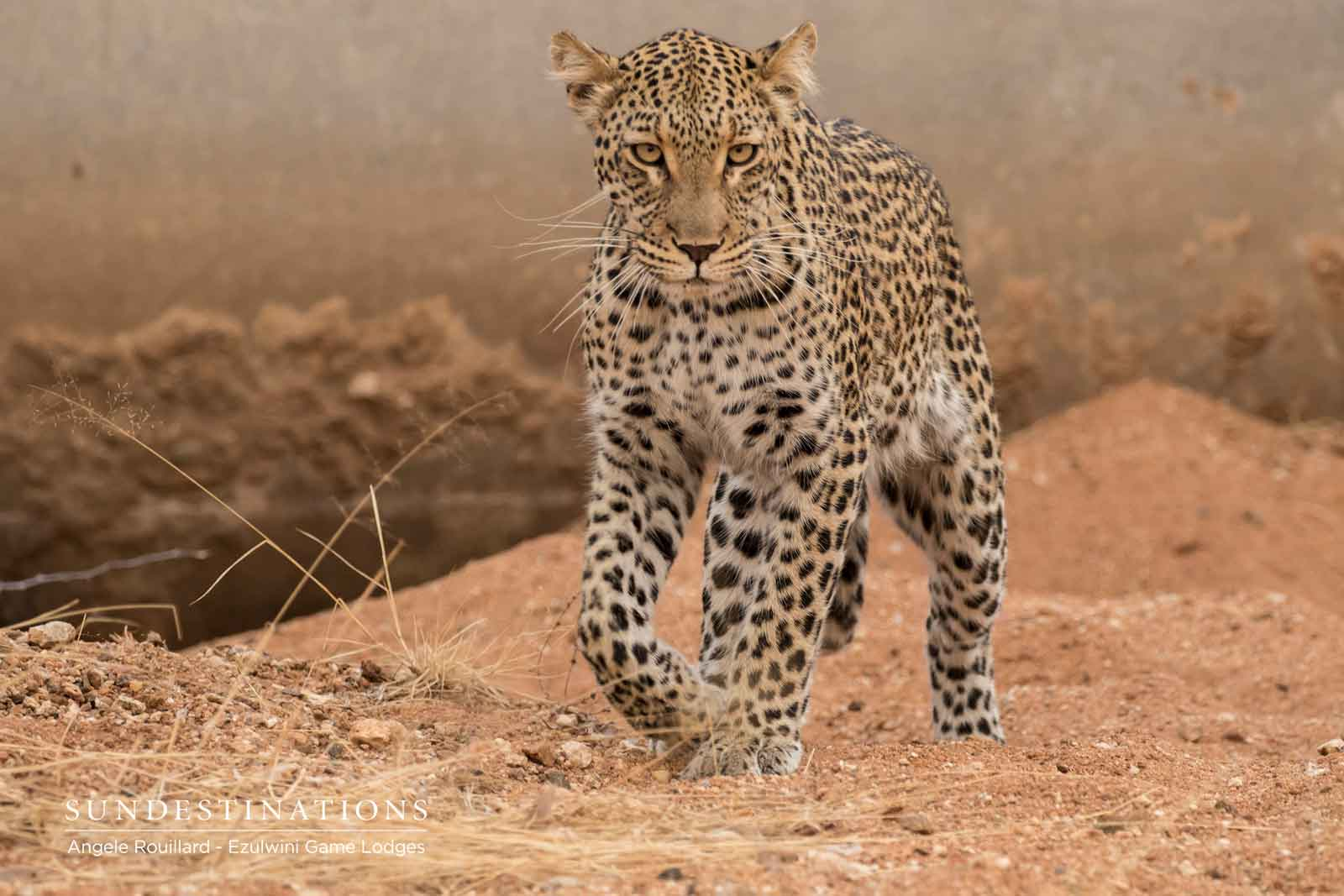 Leopards of Ezulwini