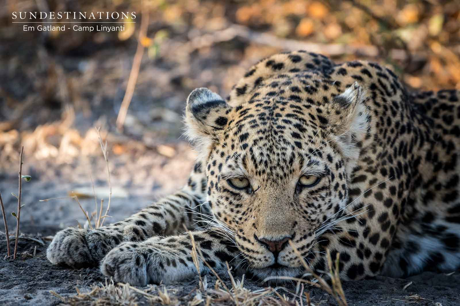 Leopards of the Linyanti in Botswana