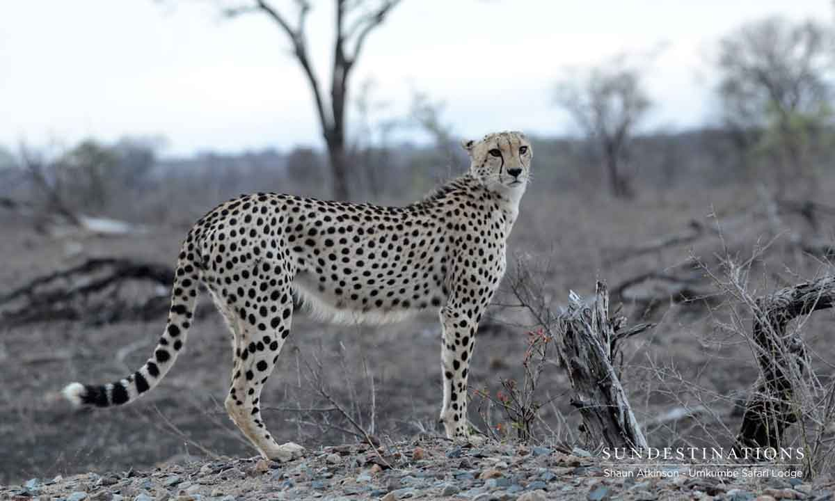 Cheetah of Umkumbe