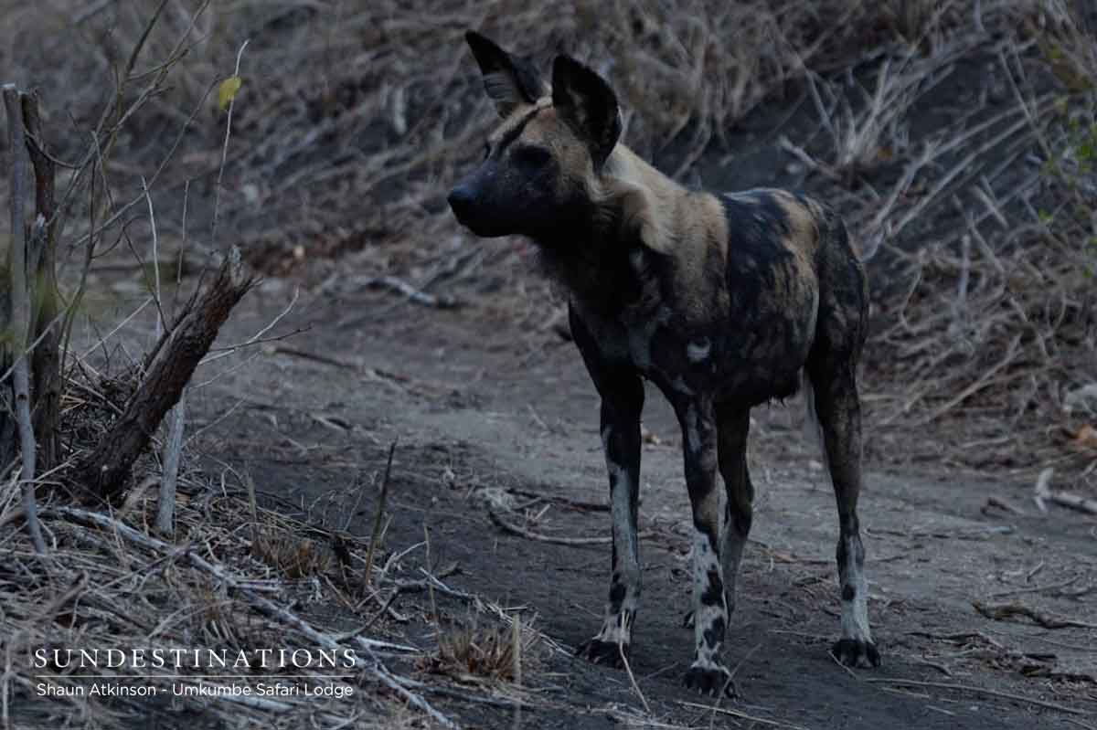 Wild Dogs at Umkumbe Safari Lodge