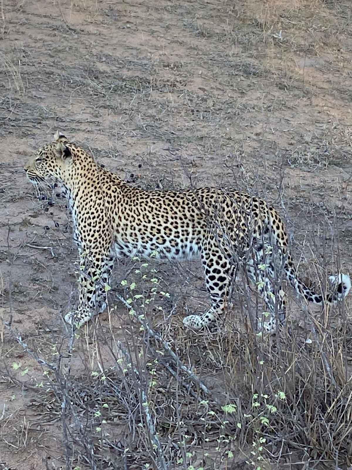Walkers Leopards Landscape