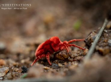 You're only reading this because of the sensationalist title, aren't you? I'm glad I caught your attention! I'm not literally referring to the creepy side of the human psyche, but rather the exceptional macro photos of our resident creepy crawlies. After the recent rains, a flurry of new life emerged. Plush red velvet mites always […]