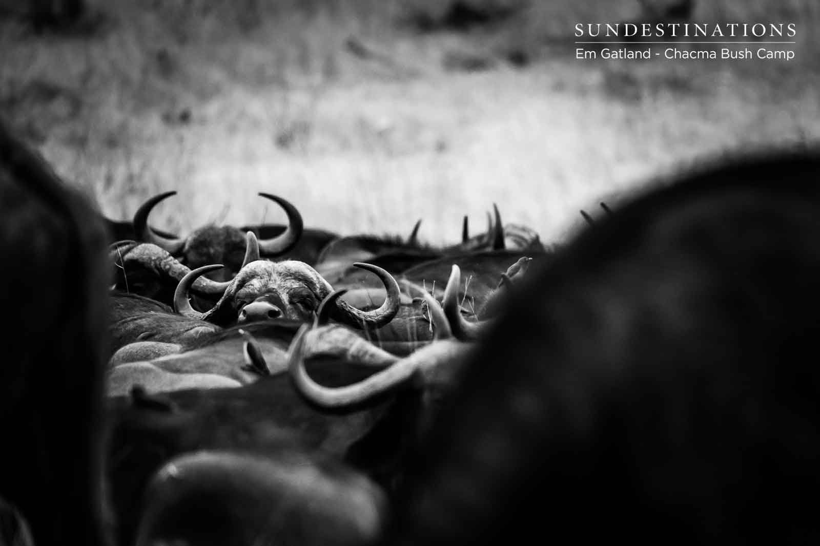 Chacma Herd of Buffalo