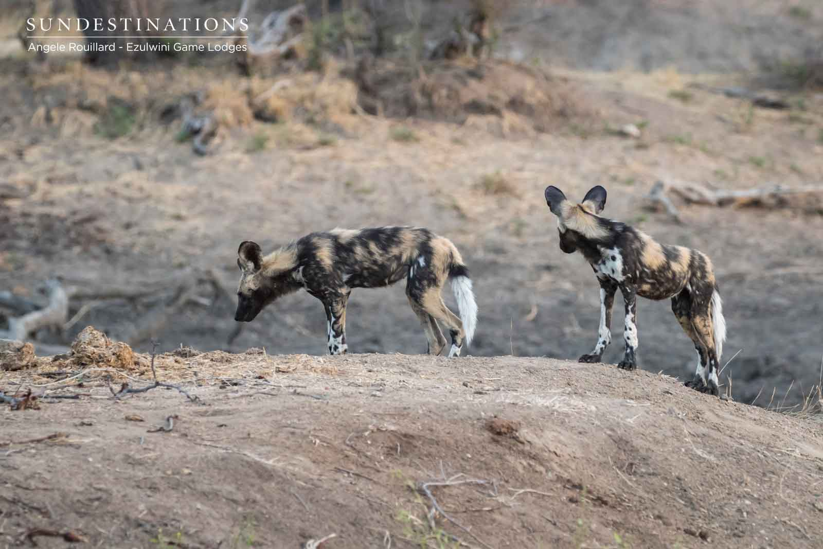 African Wild Dogs in the Balule Nature Reserve