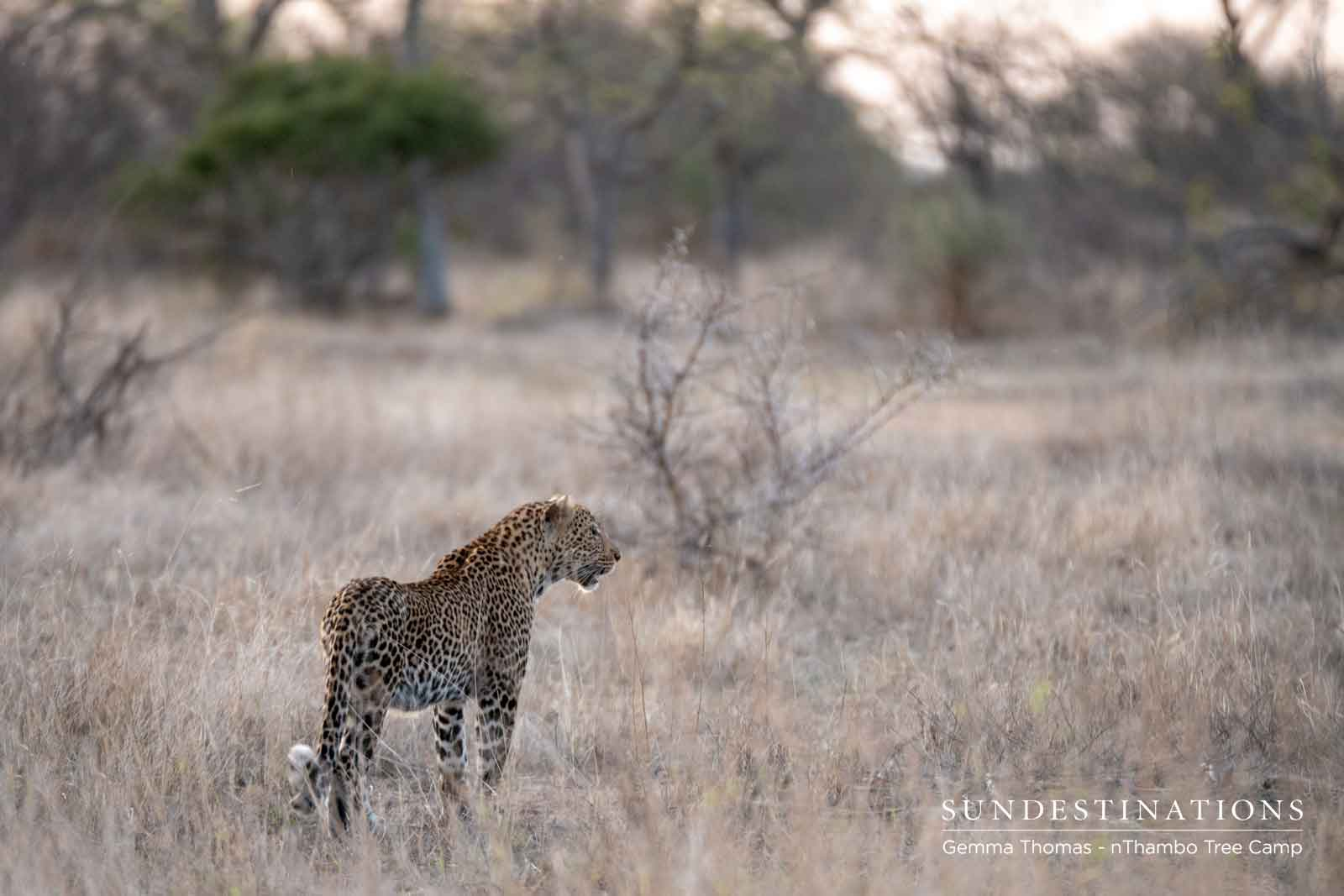 Leopard at nThambo Tree Camp