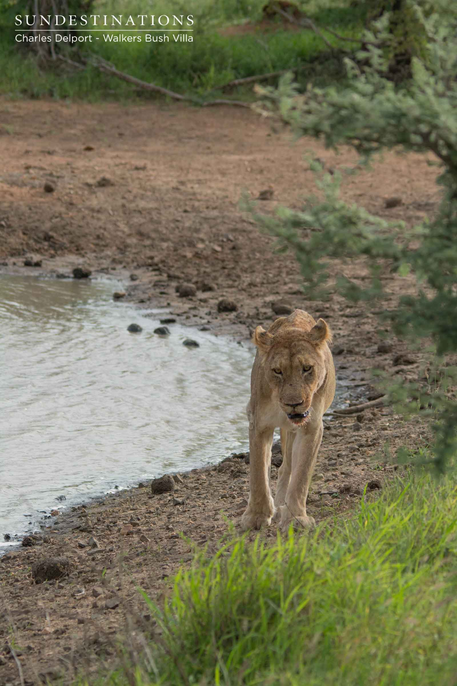 Lone Lioness form Giraffe Pride