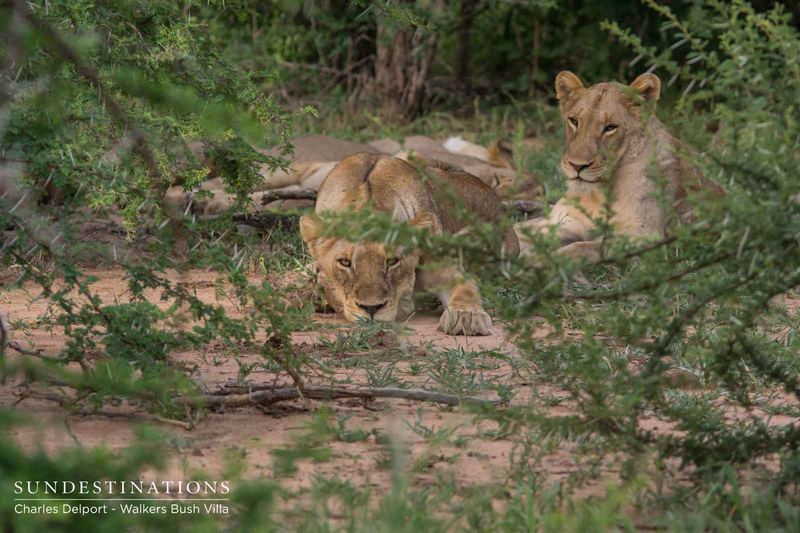 Timbavati Lions : Take a Walk(ers) on the Wild Side