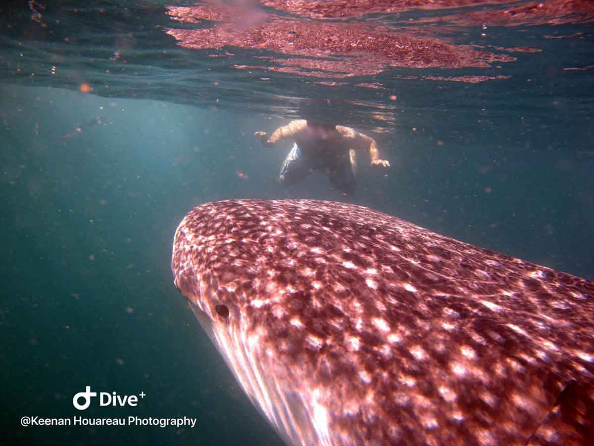 Snorkel with Whale Sharks Tofo