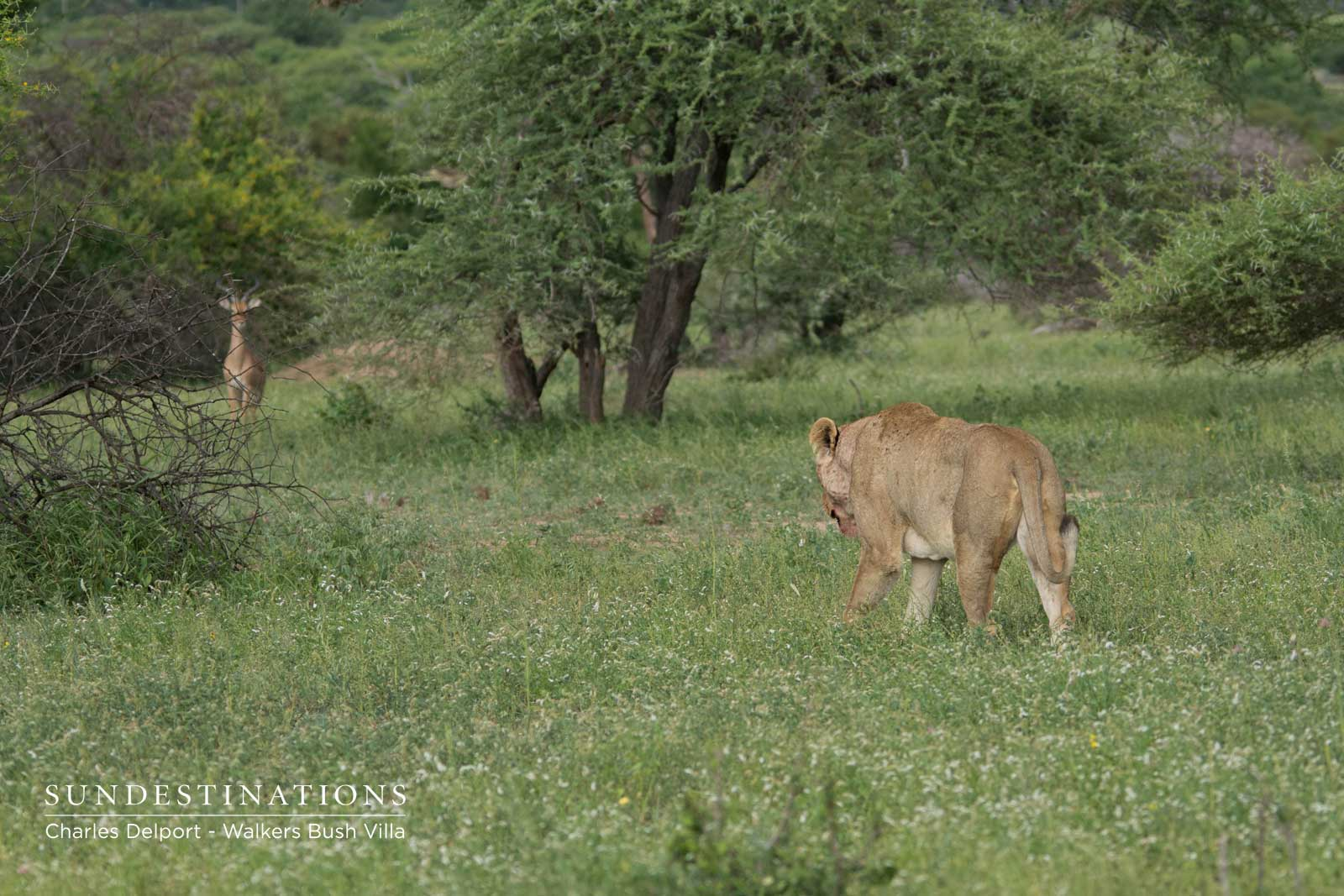 Lions of the Timbavati