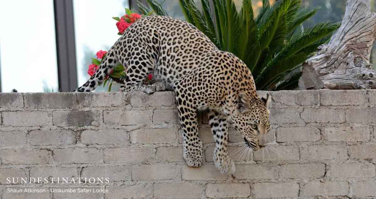 Umkumbe Leopard Over Wall