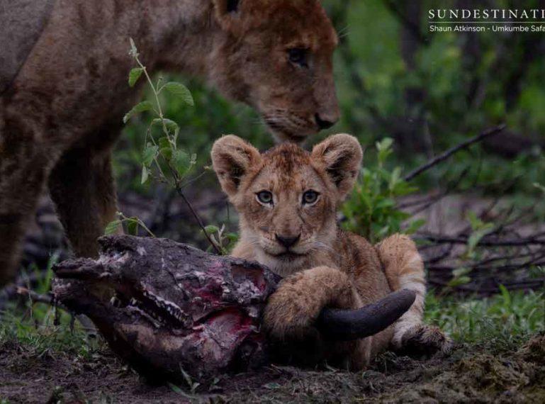 21 Lions and Cubs. The Kambula Pride Seen at Umkumbe.