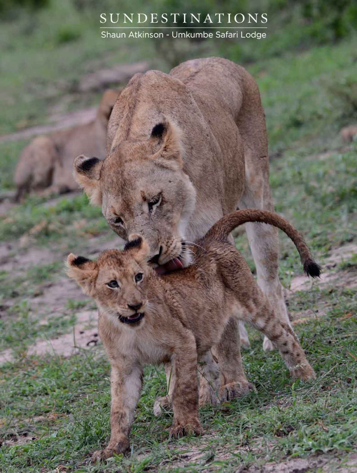 Umkumbe Lion Cubs