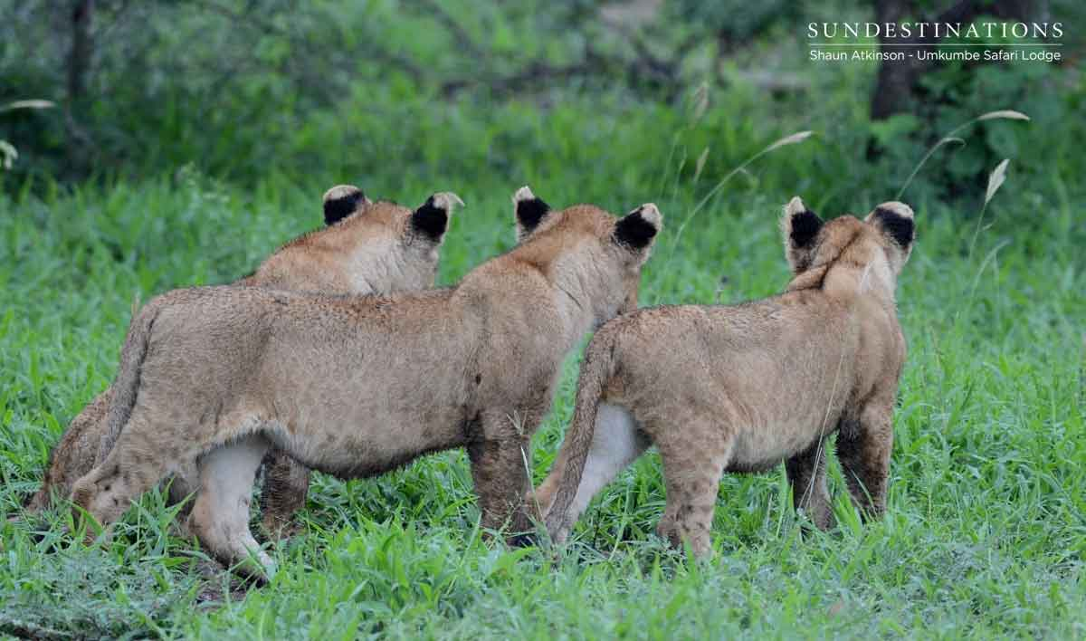 21 Lions and Cubs. The Kambula Pride Seen at Umkumbe.