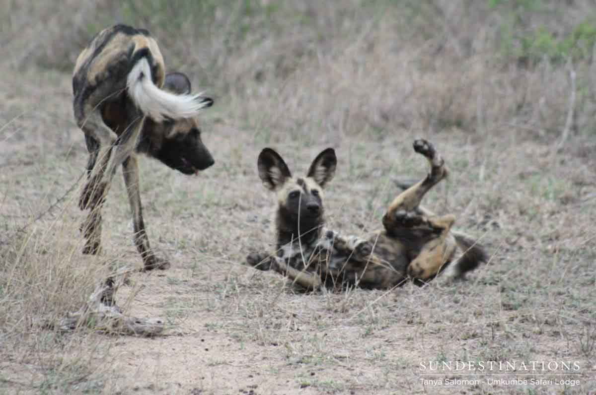 Umkumbe Wild Dogs