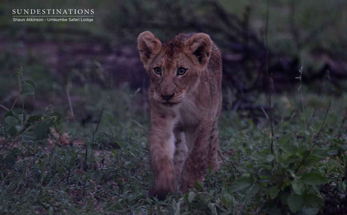 Young Lion Cub from Kambula Pride