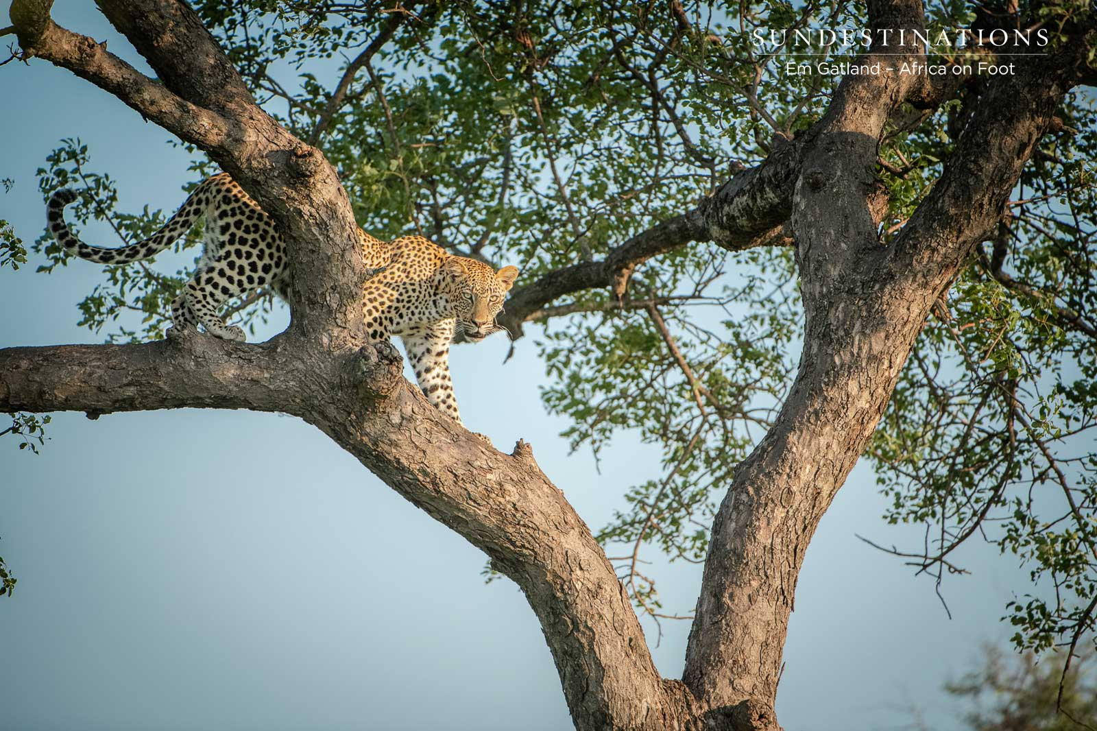 Leopards of Africa on Foot