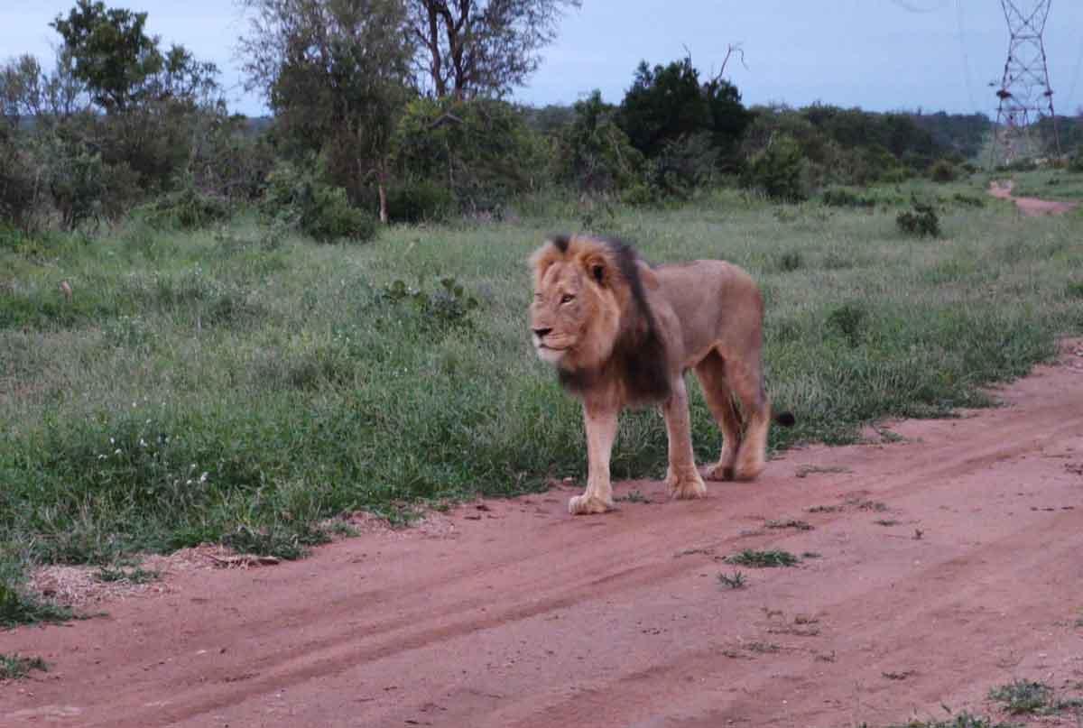 Maseke Lions at Chacma