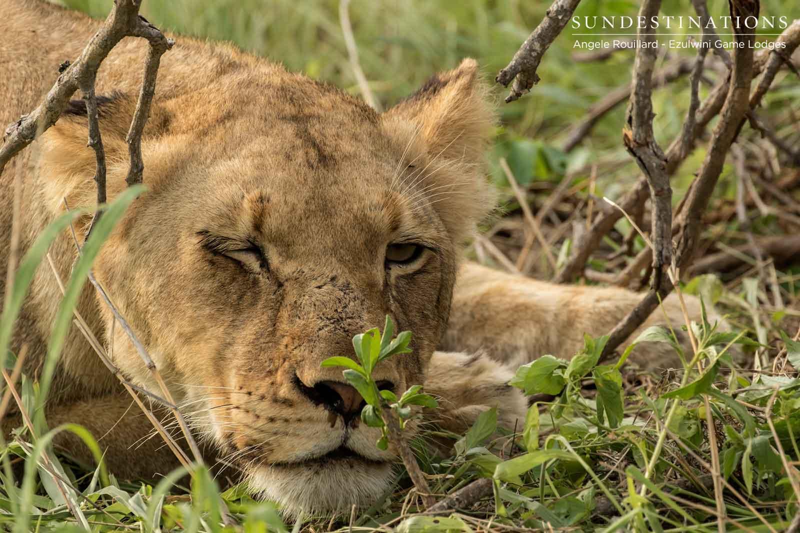 Kudyela Lions at Ezulwini Game Lodges