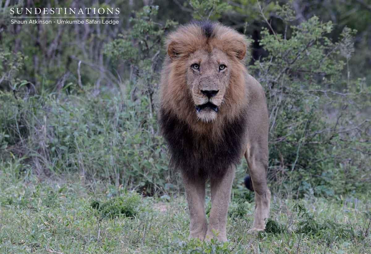 Birmingham Male Lions Umkumbe
