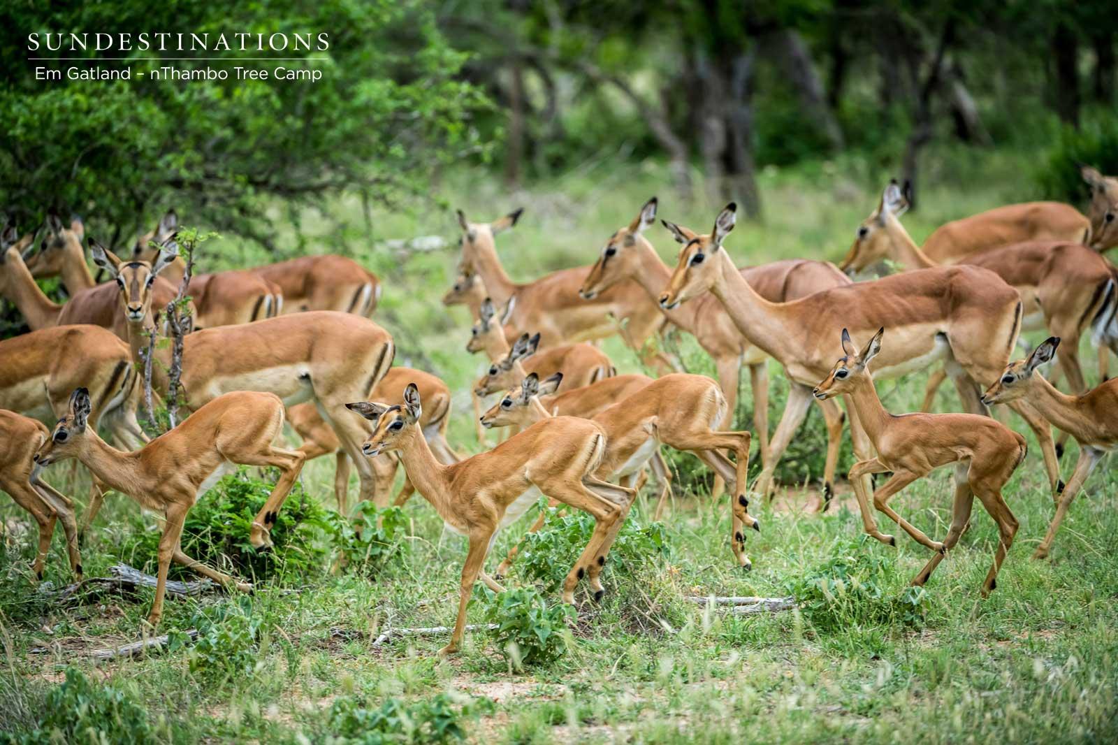 Impala Herds at nThambo Tree Camp
