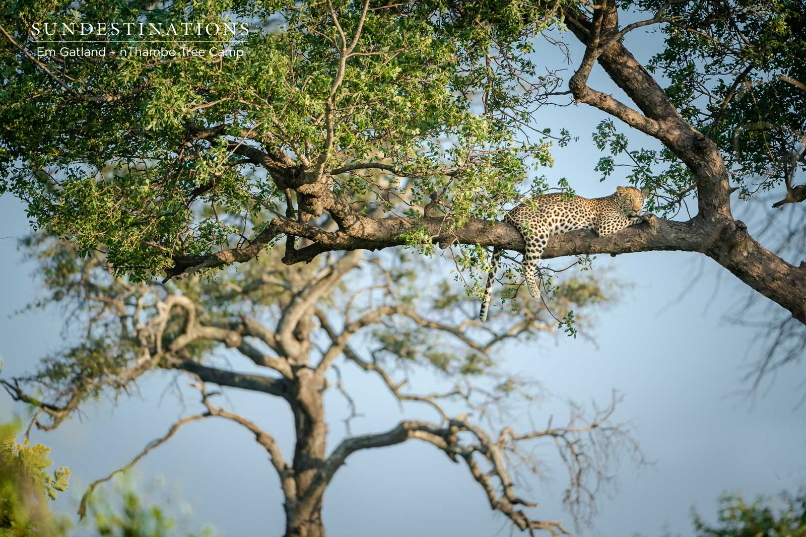nThambo Leopards in Tree
