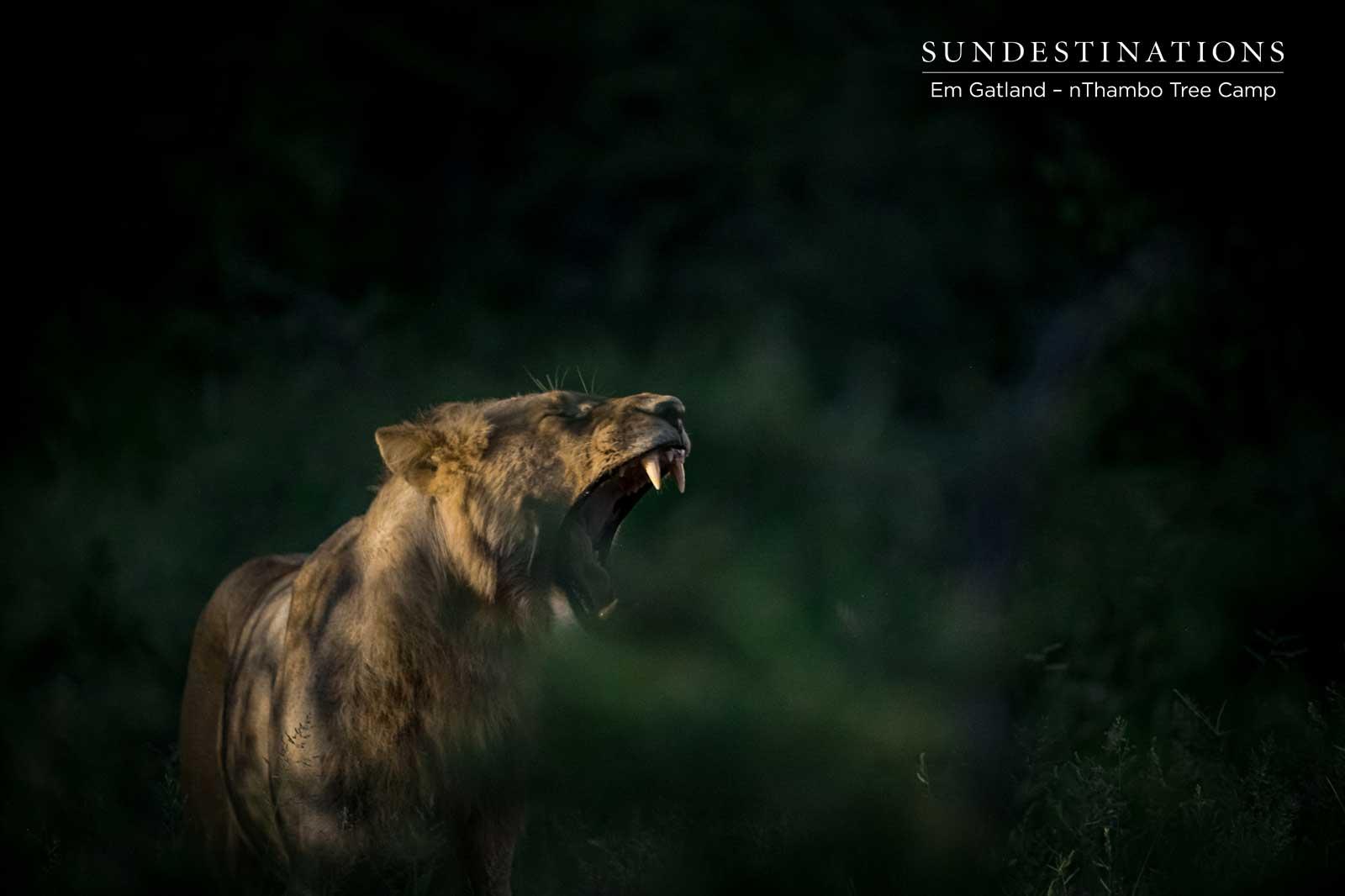 Lions at nThambo Tree Camp