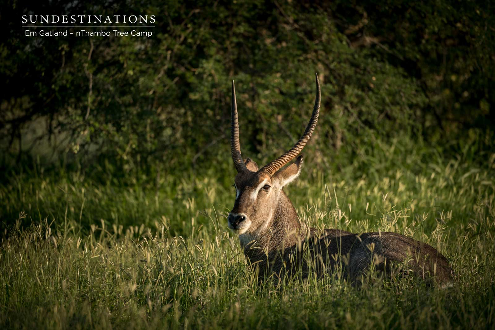 Waterbuck at nThambo Tree Camp