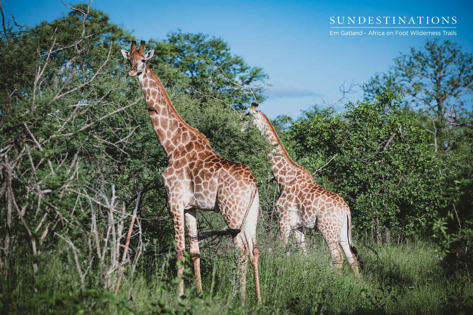 Giraffe Always Found on Trails